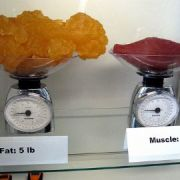 muscle to fat ratio